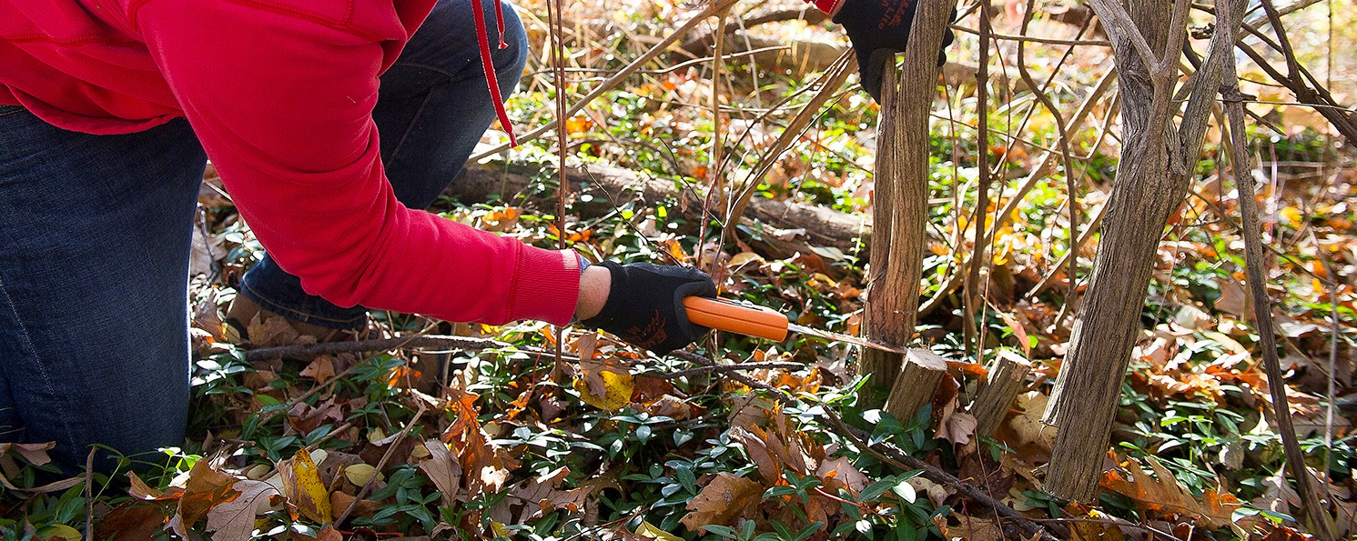 Cutting Woody Invasive Species
