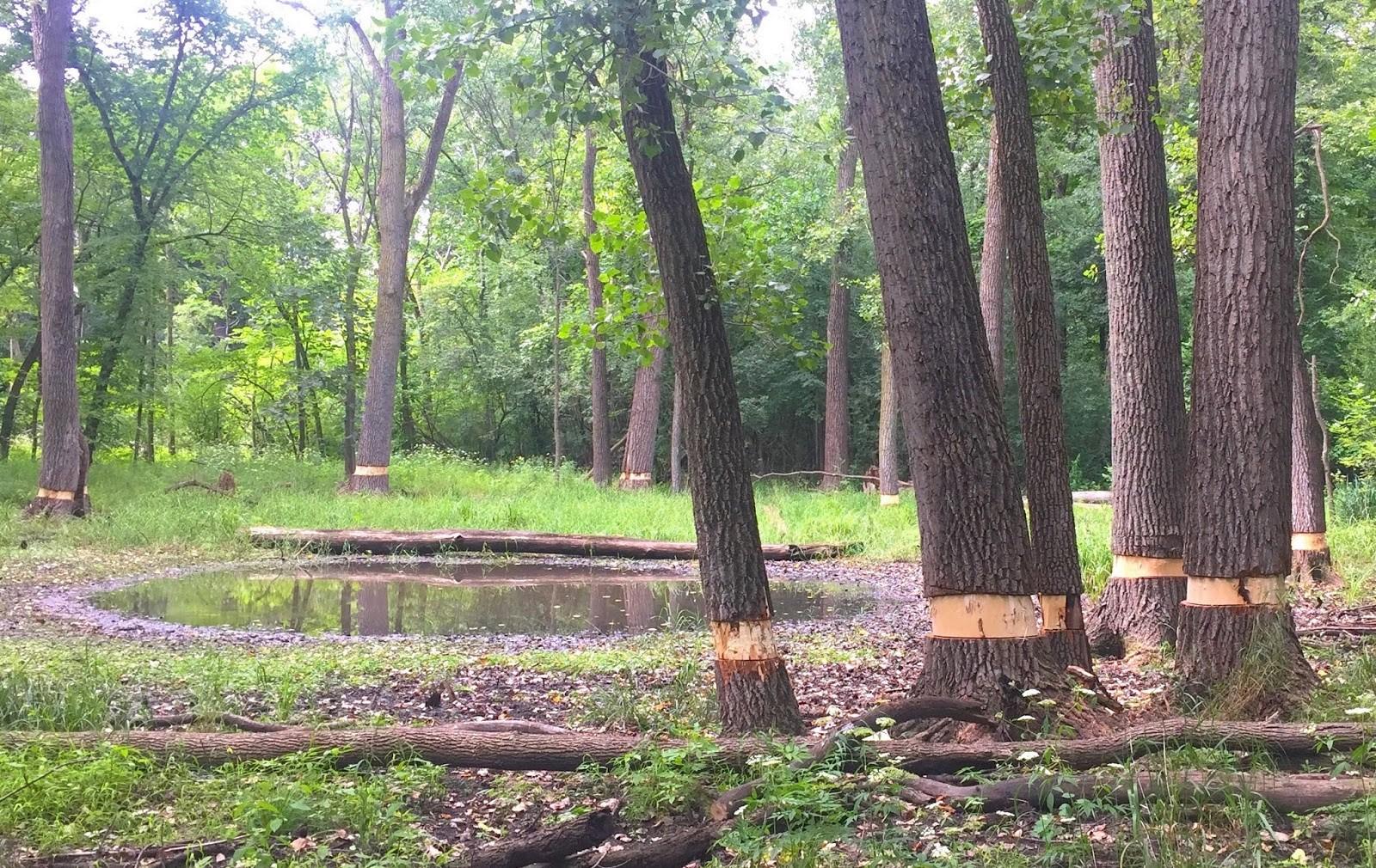 Girdling of Woody Invasive Species