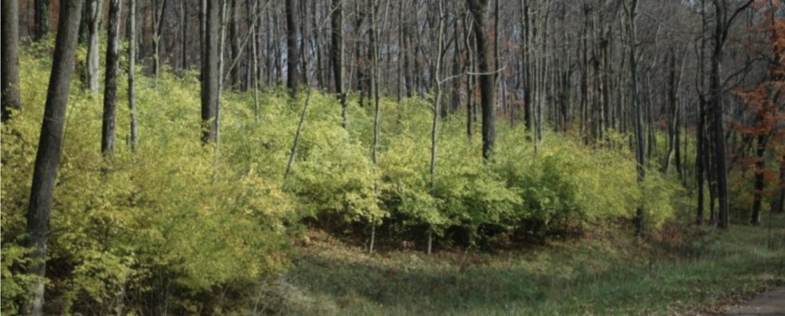 Fall Identification of Woody Invasives