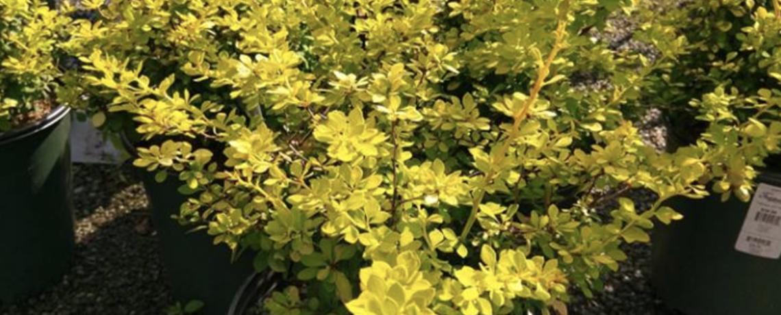 Invasive Plant Cultivars: Guilty Until Proven Innocent?