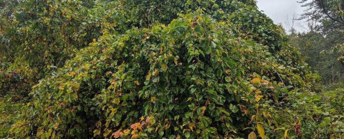 twining vine